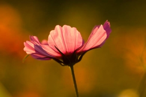 fleur rose de cosmos, fleur de jardin et de jachère, vue de profil
