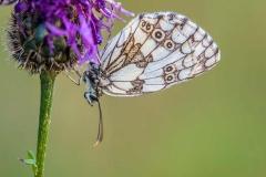 papillon Apollon posé à l'envers sur une fleur dans l'Oisans