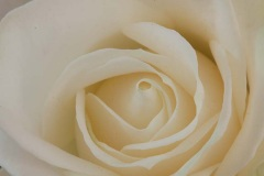 35-photo-art-graphique-flore-rose