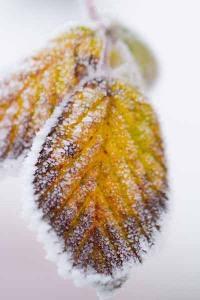 128-photo-givre-sur-feuille-automne-en-gros-plan