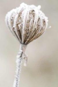 140-photo-givre-plante-ombellifère